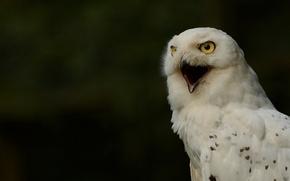 Picture snowy owl, white owl, snowy owl