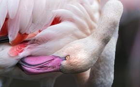 Picture pink, bird, beak, Flamingo