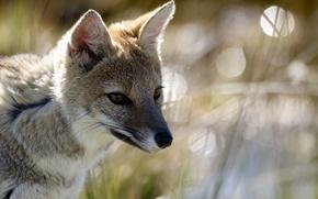 Picture glare, portrait, Fox, steppe, Korsak