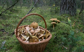 Picture autumn, forest, nature, background, Wallpaper, mushrooms, moss, walk, basket with mushrooms