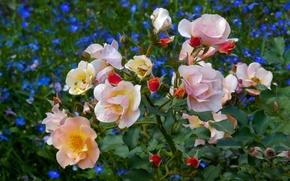 Picture flower, summer, flowers, widescreen, Wallpaper, glade, Bush, wallpaper, widescreen, background, the Wallpapers, full screen, HD …