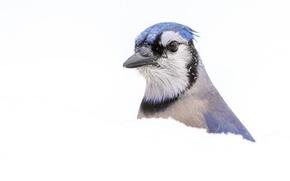 Picture macro, snow, bird, blue Jay