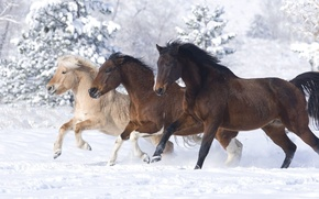 Wallpaper horses, horse, snow, winter