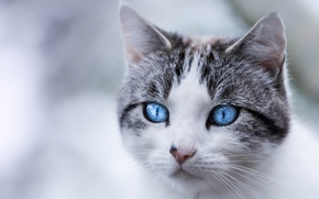 Picture cat, portrait, look, muzzle, blue eyes, cat