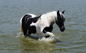 Picture WATER, WHITE, HORSE, TAIL, BLACK, MANE, PAINTING