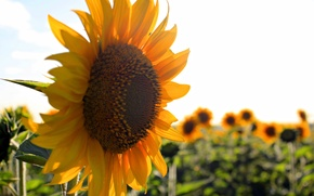 Picture summer, stay, sunflower