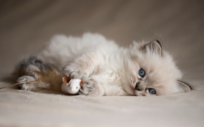 Picture cat, kitty, background, toy, fluffy, mouse, mouse, lies, the beauty, plays, photoshoot, friendly, Siamese, blue-eyed, ...