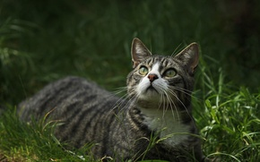 Wallpaper cat, grass, look, green-eyed