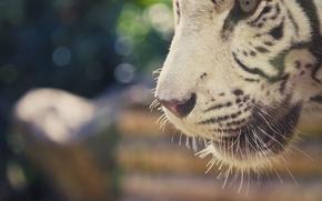 Picture look, tiger, predator, background