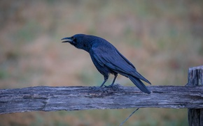 Picture the fence, beak, crow