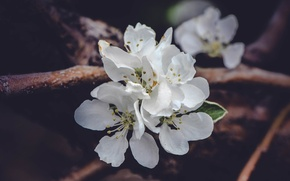 Picture macro, flowers, spring, Apple