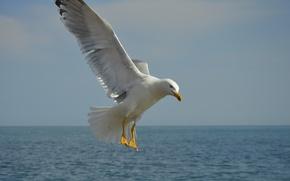 Picture sea, wave, the sky, blue, bird, Seagull