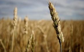 Wallpaper field, grain, ear