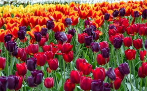 Picture closeup, a lot, colorful, tulips