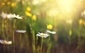 Picture flower, the sun, flowers, background, Wallpaper, blur, Daisy, day, wallpaper, flowers, widescreen, flowers, background, full …