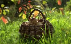 Picture nature, basket, mushrooms