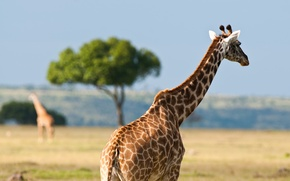 Picture animals, summer, heat, giraffes, Africa, Australia, wildlife