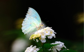 Picture white, flower, macro, butterfly, wings