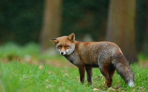 Picture forest, grass, look, nature, animal, Fox