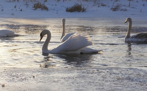 Picture animals, nature, swans