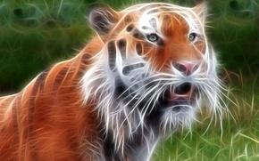 Wallpaper tiger, treatment, beast