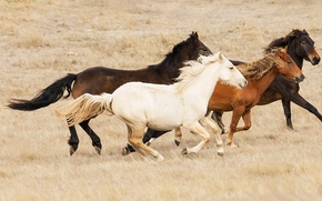 Picture the steppe, horse, Australia, the herd, Bush