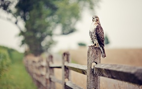 Wallpaper bokeh, the fence, Falcon, eagle