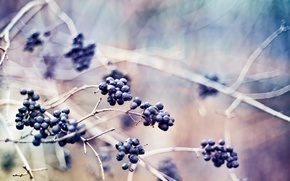 Picture NATURE, MACRO, BRANCHES, BERRIES, PLANTS