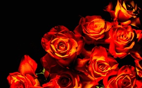 Picture background, roses, bunch