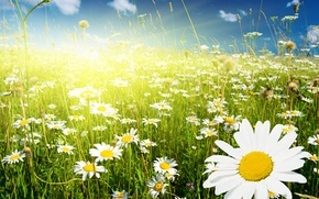 Wallpaper greens, field, the sky, grass, clouds, flowers, chamomile, spikelets, white, Sunny