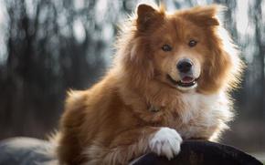 Wallpaper nature, dog, hairy, puppy, log, breed, bokeh