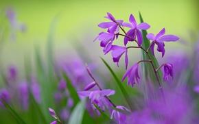 Wallpaper macro, flowers, background, petals, blur, green, lilac, Bletilla