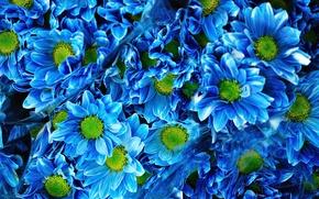 Picture bouquet, Blue, blue, chrysanthemum, Chrysanthemums