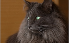 Picture cat, cat, look, background, black, widescreen, Wallpaper, wallpaper, black, widescreen, cat, background, look, full screen, ...