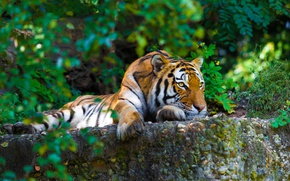 Wallpaper stones, greens, resting, tiger, the bushes, striped, predator, lies
