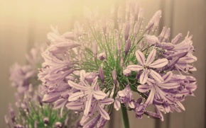 Picture water drops, inflorescence, fog, flower, agapantus, pink