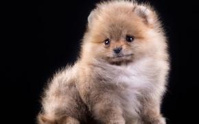 Picture fluffy, puppy, Spitz