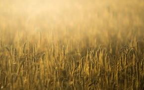 Picture wheat, field, macro, background, widescreen, Wallpaper, rye, spikelets, wallpaper, ears, widescreen, background, spike, full screen, …