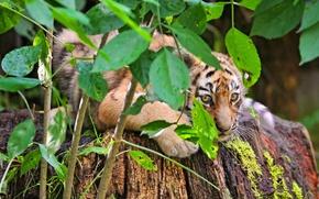 Picture tiger, foliage, Bush, hiding, tiger