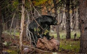 Wallpaper forest, bear, baribal, black bear
