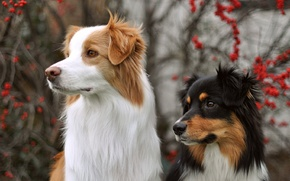 Picture dogs, look, background