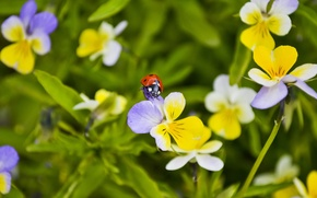 Picture summer, macro, flowers, ladybug, Pansy, Wallpaper from lolita777