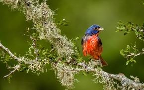 Picture bird, branch, Painted sancopy cardinal