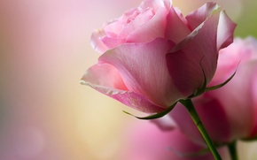 Picture flower, rose, petals, bokeh