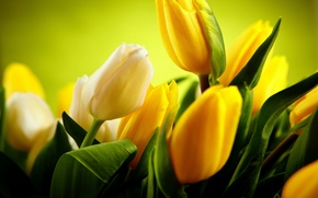 Picture green, beautiful, yellow tulips