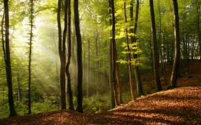 Picture leaves, light, trees, nature, tree, beauty, the rays of the sun
