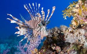 Picture sea, fish, under water, underwater, sea, fish, coral, Lionfish, coral, Lionfish