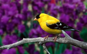 Wallpaper leaves, flowers, branch, bird, American, dry, goldfinch