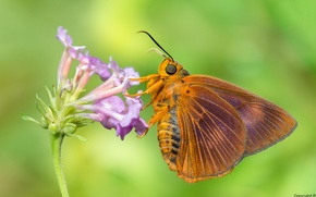 Picture macro, flowers, background, moth