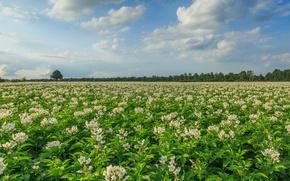 Picture field, Netherlands, Holland, Aa en Hunze, Drenthe, blooming potatoes